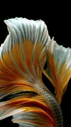 Live Fish Wallpaper, Ps Wallpaper, Live Wallpaper Iphone, Live Wallpapers, Betta Fish Types, Betta Fish Tank, Beta Fish, Pretty Fish, Cool Fish