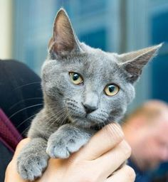 Emma is an adoptable Domestic Short Hair searching for a forever family near New York, NY. Use Petfinder to find adoptable pets in your area.