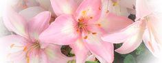 soft, pink, beautiful #lilies