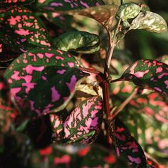 Coleus closeup #coleus #closeup #garden #plants #nature