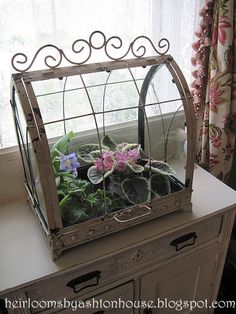 A pretty Wardian Case filled with African Violets.