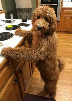 Looks exactly like my dog Lucy Goldendoodle Full Grown, Red Goldendoodle, Goldendoodle Grooming, Goldendoodle Haircuts, Standard Goldendoodle, Beauceron Dog, Goldendoodles, Labradoodles, Cavapoo