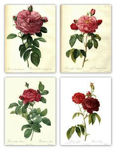 botanical rose illustrations ~ beautiful!
