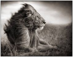 TITLE:  	Lion before storm II, sitting profile  Maasai Mara  	ARTIST:  	Nick Brandt