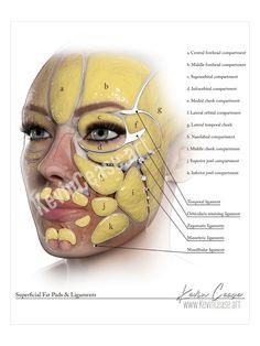 Facial Anatomy, Head Anatomy, Human Body Anatomy, Anatomy Drawing, Muscle Anatomy, Muscles Of The Face, Facial Muscles, Relleno Facial, Facial Aesthetics