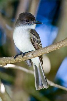 """Juí en Aguadilla En Puerto Rico conocido como Juí, el """"Puerto Rican Flycatcher"""" es un ave endémica del archipiélago de Puerto Rico."""