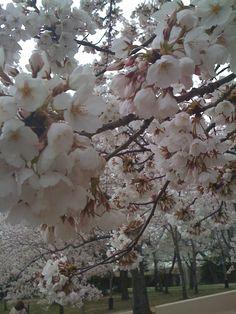 Cherry Blossoms :: Washington, DC