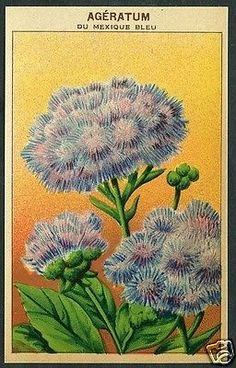 Antique French Seed Pack Label 1920 Flower Botanical Litho Ageratum France (6)