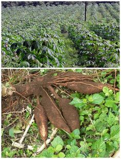 Cassava and Why You Should Have It In Your Survival Garden Homesteading  - The Homestead Survival .Com