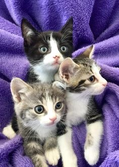 """We are the """"three Mouseketeer! Baby Kittens, Little Kittens, Cute Cats And Kittens, I Love Cats, Crazy Cats, Cool Cats, Kittens Cutest, Pics Of Kittens, Baby Animals"""