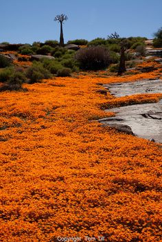 Namaqualand wildflowers, Namaqualand, South Africa a One of the world's largest wildflower blooms Dimropotheca sp. South African Flowers, South Afrika, Wild Flowers, Rock Flowers, Desert Flowers, Namibia, Belleza Natural, Africa Travel, Natural Wonders