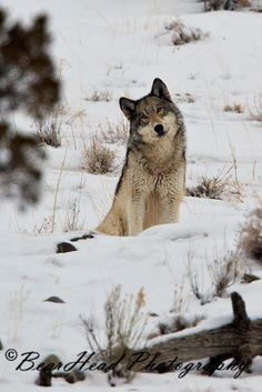 "sisterofthewolves: ""Picture by BearHead Photography "" ""You are a strange looking wolf that says 'click'? Animals And Pets, Baby Animals, Funny Animals, Cute Animals, Wolf Spirit, My Spirit Animal, Wolf Pictures, Animal Pictures, Beautiful Creatures"