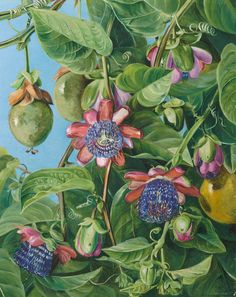 Flowers and Fruit of the Maricojas Passion Flower, Brazil. Prints by Marianne North
