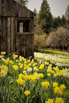 Two of my favorite things, old barns and daffodils.  Marie