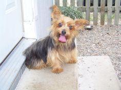 Petfinder  Adoptable | Yorkshire Terrier Yorkie | Dog | Tulsa, OK | Diamonds