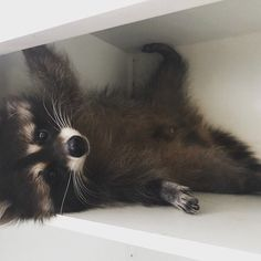 - Conny Matthias - - baby animals - Animal world Cute Baby Animals, Animals And Pets, Funny Animals, Strange Animals, Beautiful Creatures, Animals Beautiful, Baby Raccoon, Racoon, Cute Animal Pictures