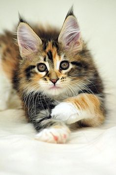 Maine Coon Calico kitten.