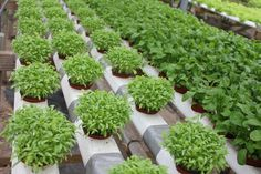 Hydroponic nutrients are highly used to grow various kind of flowering plants and vegetable plants without soil. It is well known technique for agriculture.