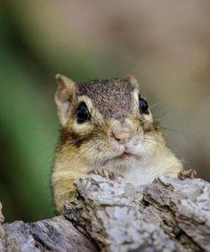 Chipmunk Control Eliminating Chipmunks From Your Garden