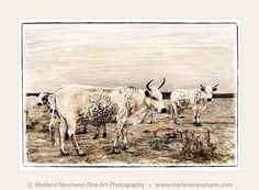 Marlene Neumann captures the beauty of South Africa's Nguni cattle. Characteristic patterned hides reflect the many variations of the African landscape Fine Art Photography, Landscape Photography, Big Brown Eyes, Nature Photos, Cattle, Moose Art, Artsy, African, Prints