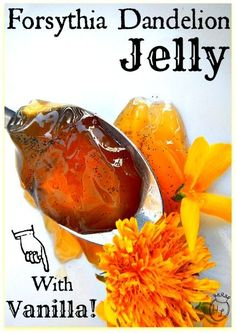 Forsythia Dandelion Jelly with Vanilla l Spring foraged flowers for sweets l Homestead Lady (.com)