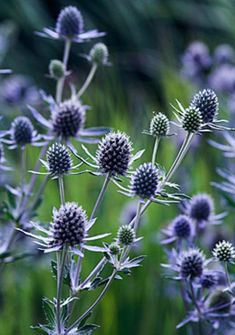 Eryngium (Sea Holly) - Blue thistle like flowers. White sea holly is called Miss Willmott's ghost. Herbaceous Border, Herbaceous Perennials, Shade Perennials, Flowers Perennials, Cut Flowers, Wild Flowers, Flower Petals, Rosen Beet, Sea Holly