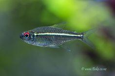 Tropical Freshwater Fish, Freshwater Aquarium Fish, Tropical Fish, Neon Tetra, Ichthys, Aquatic Ecosystem, Plenty Of Fish, Beautiful Fish, Fish Tanks