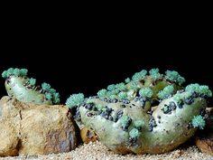 Sarcocaulon Peniculinum | Sarcocaulon peniculinum.cl | Flickr - Photo Sharing!