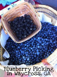 Blueberry PIcking in Waycross, GA