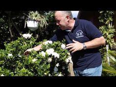 El jardinero en casa - Gardenias - YouTube