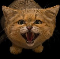 OCTOBER Hear me roar By Joel Sartore. A male sand cat (Felis margarita) is photographed at the Chattanooga Zoo in Tennessee. This small wildcat is adapted for the desert environments of northern Africa, central Asia, and the Arabian Peninsula. Small Wild Cats, Big Cats, National Geographic Society, National Geographic Photos, Felis Margarita, Chattanooga Zoo, Cat Facts Text, Species Extinction, Endangered Species