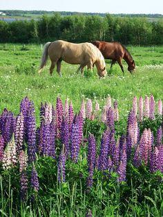 Horses and lupines in Malpeque, Prince Edward Island. Photo by Bernadeta Milewski
