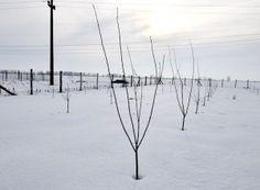 Cum se face altoirea cu ramură detașată, sub scoarța terminală Fruit Trees, Grape Vines, Solar, Snow, Urban, Outdoor, Gardening, Agriculture, Diet