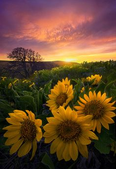 Dramatic skies at sunset over Balsamroot flower fields in Washington's Columbia Hills.