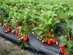 The Seascapestrawberry plant produces very large, firm fruit which have good color and flavor when picked ripe. They have a symmetric, medium to long conical berry with a glossy finish.    It is one of our most popular varieties with a general flexibility in planting dates and areas. The Seascape strawberry cultivar is a very good choice for roadside and farmer's markets.