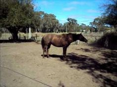 Australian riding pony for sale