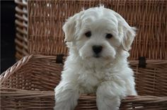 in a basket. Teacup Maltese, Maltese Puppies, Bichons, Poodle, Cute Animals, Basket, Pets, Diy Dog, Pretty Animals