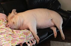 Meet Esther the Wonder Pig. When she was adopted by parents Steve Jenkins and Derek Walter, she only weighed 3-lb and was supposedly a pygmy piglet. Lo and