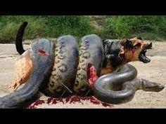 Lucha Increíble - Anaconda vs Perro - Perros vs Otras Serpientes (REAL!!)