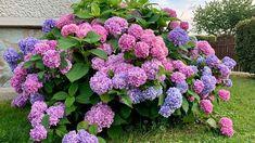 Bohatě kvetoucí hortenzie je v létě ozdobou zahrady. Vegetables, Plants, Gardens, Magnolias, Compost, Outdoor Gardens, Vegetable Recipes, Plant, Garden
