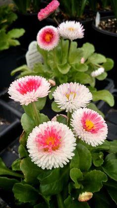 """Strawberries and Cream"" English Daisy Bellis Flower Garden, Flowers, Bellis Perennis, Daisy, Blossom, Perennials, Plants, Sun Loving Plants"