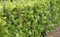 Kirschlorbeer ist eine sehr beliebte Heckenpflanze. Im Spätwinter sollten Sie den starkwüchsigen Strauch ordentlich zurückschneiden. Das ist beim Rückschnitt zu beachten.