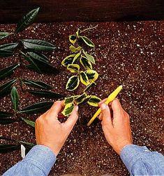 Fagyal és kecskerágó szaporítása - gazigazito.hu Gardening Tips, Plants, Flora, Plant