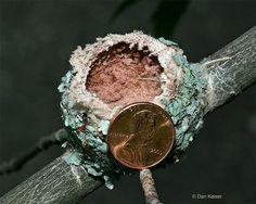 Ruby-throated Hummingbird nest by Dan Kaiser by dhkaiser, via Flickr