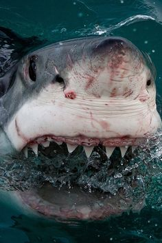 Because your first reaction, when you see a shark, is to take a picture.- pinning for my other half who loves shark week Shark Pictures, Shark Photos, Underwater Creatures, Ocean Creatures, Hai Tattoo, Shark Bait, Bait Bait, Megalodon, Great White Shark