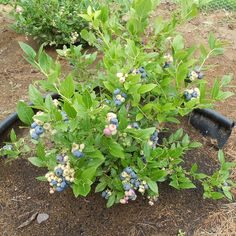 healthy-blueberry-plant tips for growing blueberries