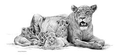 lion cubs drawing | Lioness and Cubs pencils (not dated) – Johan Hoekstra Wildlife Art