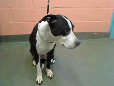 Princess - A0909831 - A0909831 **DEFERRED INTAKE - NOT AT SHELTER. AVAILABLE FOR RESCUE** SPAYED FEMALE, BLACK / WHITE, PIT BULL MIX, 9 yrs OWNER SUR - BLOCKWEB, NO HOLD Reason PERS PROB Intake condition EXAM REQ Intake Date 05/13/2016, From NY 11249, …