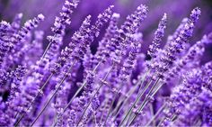 10 Fragrant Plants That Repel Mosquitoes - Garden Lovers Club Lavender Fields, Lavender Flowers, Lavender Oil, Lavender Plants, Lavander, Lavender Color, Flowers Garden, Herbs For Anxiety, Color Lavanda
