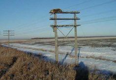 utility pole eagle safety | http://www.electrica...Power_Pole.html